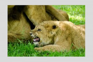 This image has had the Canvas Size increased. Note that the actual size of the lion cub is the same but now it has a border around it